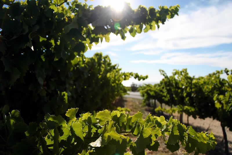 PageLines-vineyards2_800.jpg